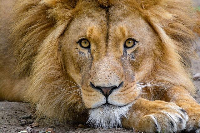 Это изображение имеет пустой атрибут alt; его имя файла - lion-3740159_640.jpg